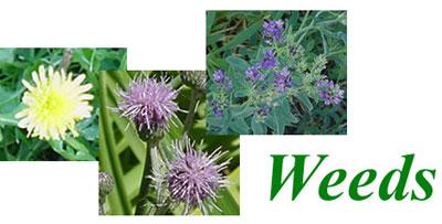 Weeds (25374 bytes)